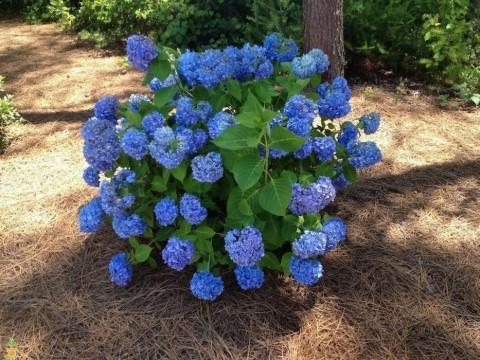 Гортензия Nikko Blue фото