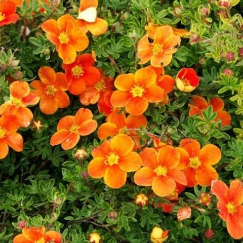 Лапчатка Hopleys Orange фото