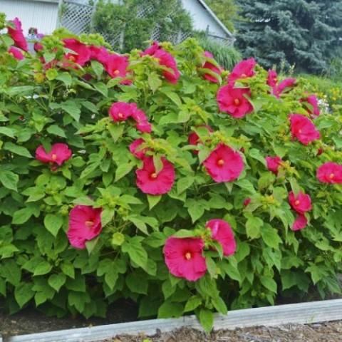 Гибискус садовый Jazzberry Jam фото
