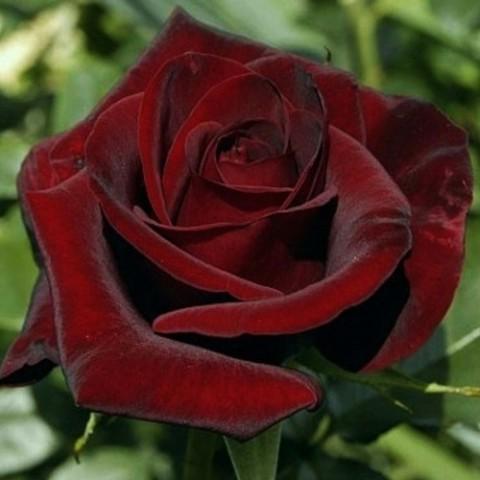 Роза Black Magic фото