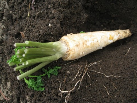 Петрушка корневая Сахарная фото