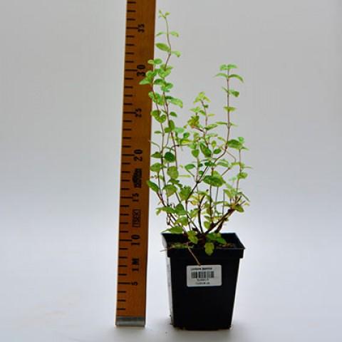 Жимолость японская Aureoreticulata фото