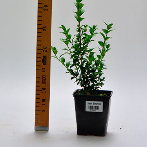 Самшит вечнозеленый фото