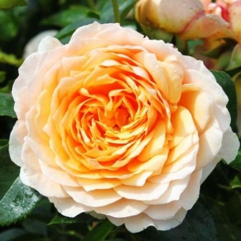 Роза плетистая Ginger Syllabub фото