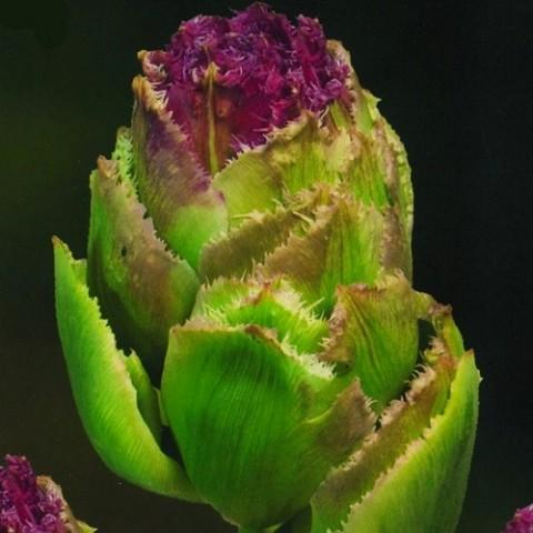 Тюльпан Purple Tower фото