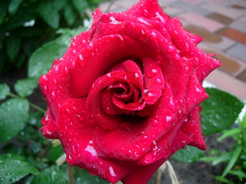 Роза Duftzauber  фото