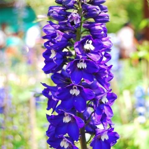 Дельфиниум Magic Fountain Dark Blue White Bee фото