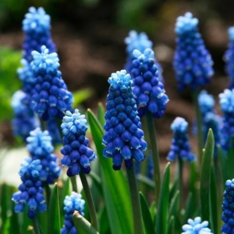 Мускари Blue Magic фото