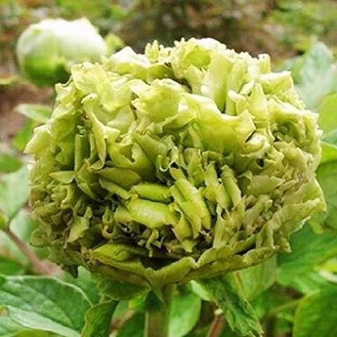 Пион Spring Willow Chun Liu древовидный фото