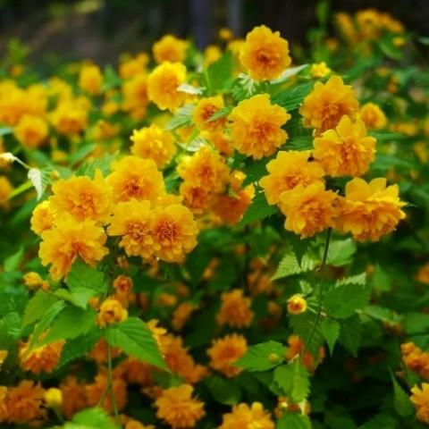 Керия японская Pleniflora фото