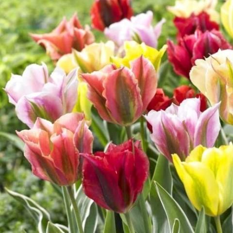 Тюльпаны Зеленоцветные Микс фото