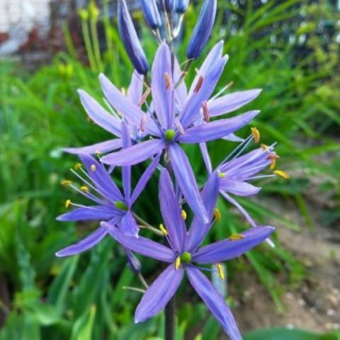 Камассия Quamash Blue Melody фото