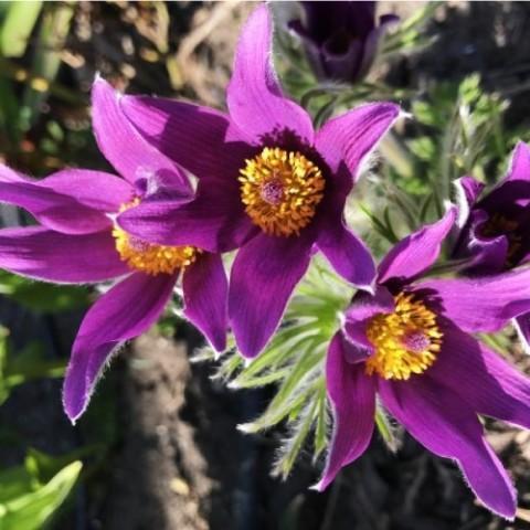 Прострел Pulsar Violet Shades фото