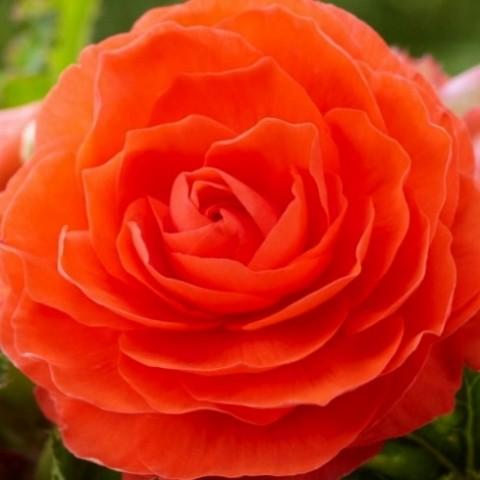 Бегония махровая оранжевая фото