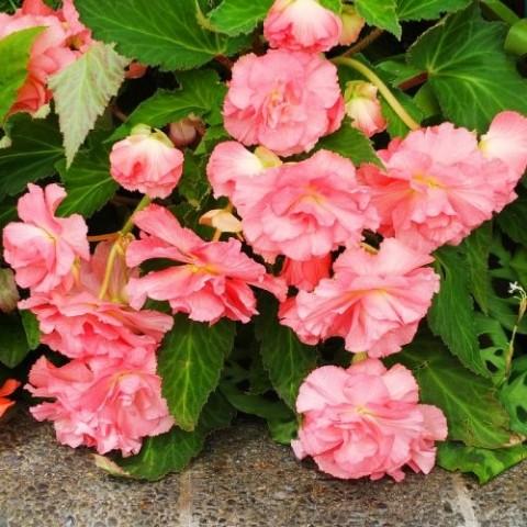Бегония Pendula Cascade Pink фото