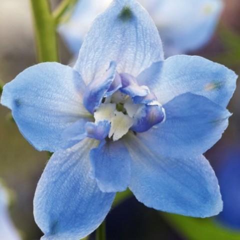 Дельфиниум Sky Blue White Bee фото