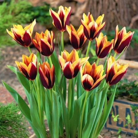 Тюльпан Gavota фото