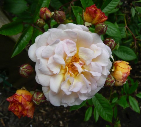 Роза Ghislaine de Feligonde фото