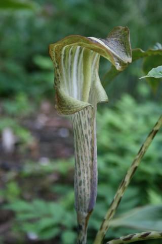 Аризема Nepenthoides фото