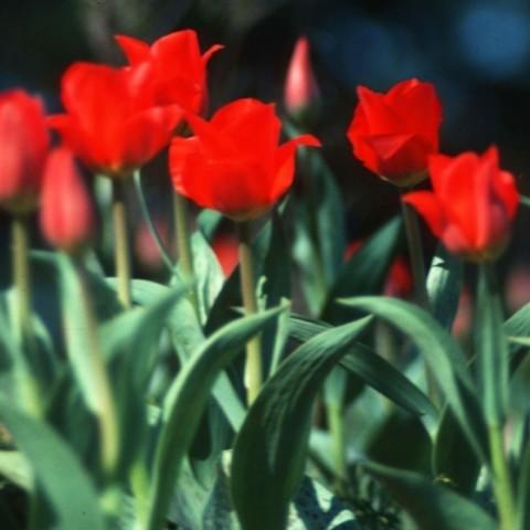 Тюльпан Grand Prestige фото