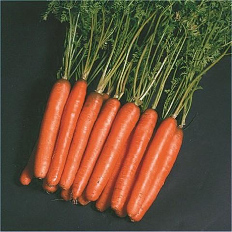 Морковь Нантес фото