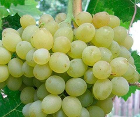 Виноград Кеша фото