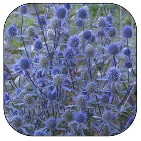 Синеголовник (сухоцвет) фото