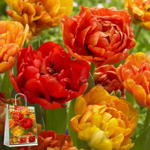 Тюльпаны Sun Lover (Премиум Луковицы) фото