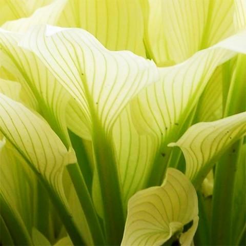 Хоста White Feather фото
