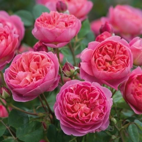 Роза Jubilee Celebration фото
