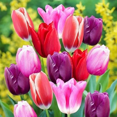 Тюльпан Триумф Микс фото