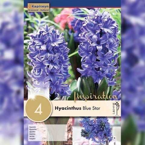 Гиацинт Blue Star (Брендовые луковицы KAPITEYN®) фото