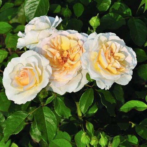 Роза Tisa Reka фото