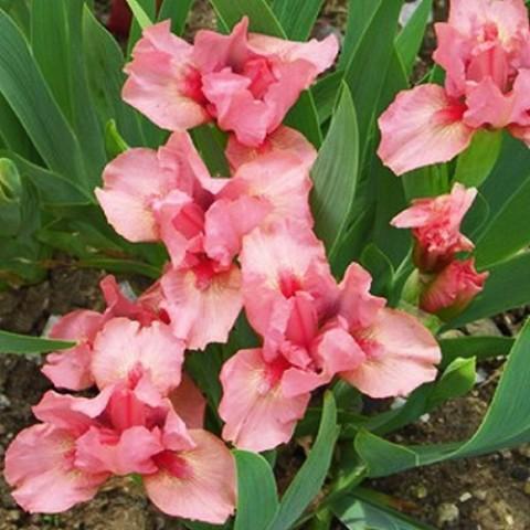 Ирис Pussycat Pink фото