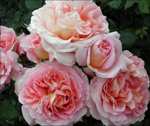 Роза Abraham Derby фото