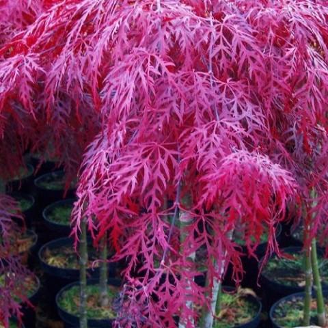 Клён японский Garnet диссектум фото