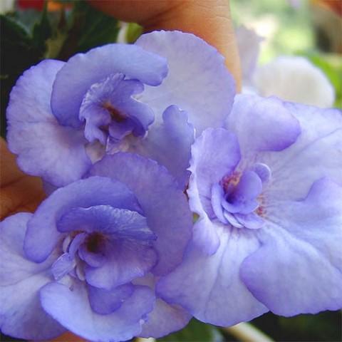 Ахименес Blue Temptation фото