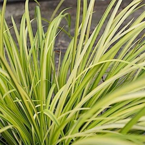 Аир обыкновенный Variegatus фото