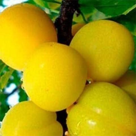 Алыча колоновидная Желтая фото