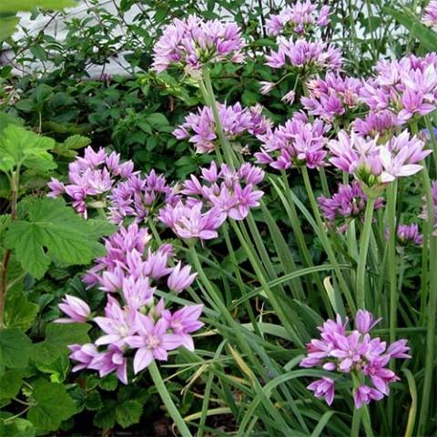 Аллиум Unifolium фото