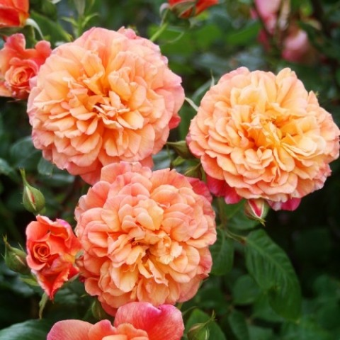 Роза Aloha фото