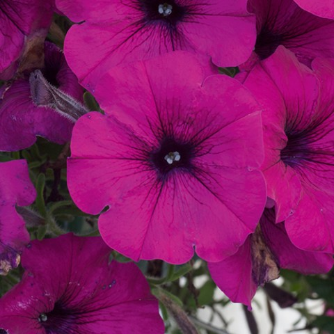 Альпетуния Dark Purple фото