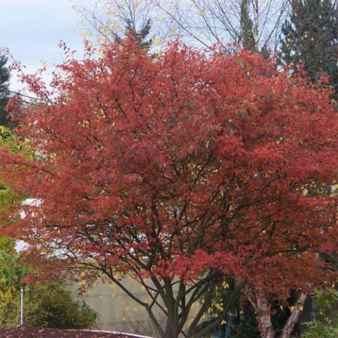 Ирга крупноцветковая Autumn Brilliance фото