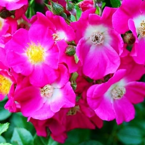 Роза American Pillar (плетистая) фото