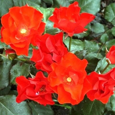 Роза Amsterdam фото
