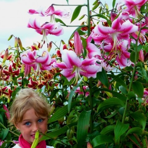 Лилия Anastasia фото