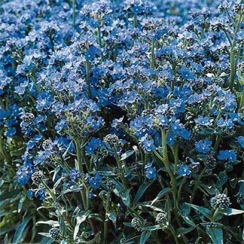 Анхуза Blue Angel фото