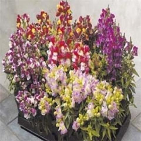 Антиринум (Львиный зев) Floral Showers Mix фото