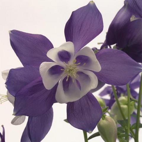 Аквилегия Spring Magic Blue & White фото