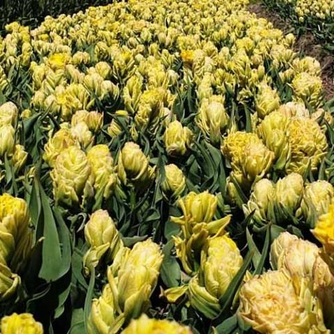 Тюльпан Artisjok Yellow фото